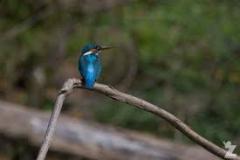 Como-dar-la-vuelta-al-mundo-pajaro-kingfisher