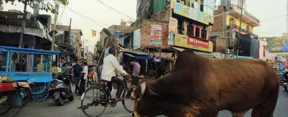 como-dar-la-vuelta-al-mundo-vacas-india